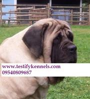 7 ENGLISH MASTIFF PUPS ARE AVAILABLE FOR SALE CALL 09540809687
