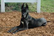 ATTRACTIVE PRICE FOR GREAT DANE  PUPS IN TESTIFY KENNEL