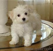 MALTESE PUPS ARE AVAILABLE FOR SALE IN TESTIFY KENNEL
