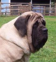 ENGLISH MASTIFF PUPS FOR SALE IN TESTIFY KENNEL